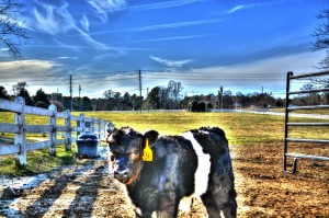 HDR Cow