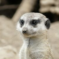 Meerkat Failed for Pacquiao Mayweather